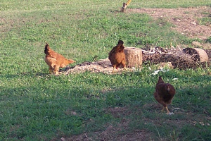 Free Ranging Chickens