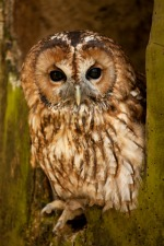 Back yard chickens Tawny Owl