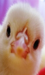 A baby chick is so cute!