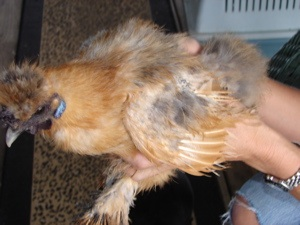 Bluebell is a Silkie chicken that we rescued!