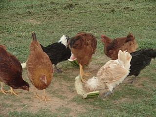 Free Range Chickens Getting Treat