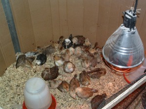 Just hatched baby chiks