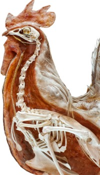 Chicken Digestive System Anatomy http://www.raising-chickens.org/chicken-anatomy.html