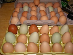 Beautiful colors of the chicken egg