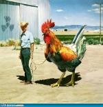 Funny chicken