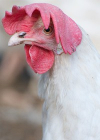 Chicken health questions: chicken with floppy comb