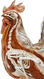 Chicken health questions chicken skeleton
