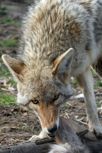 Coyotes are Chicken predators that will take advantage of unsecure settings