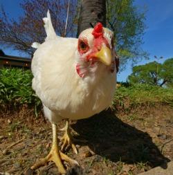 Chicken raising and care T Rex Chicken