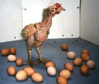An abused chicken used to produce eggs