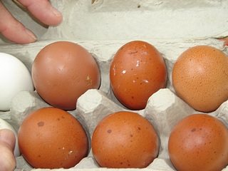 Exotic Chickens Black Copper Maran Eggs