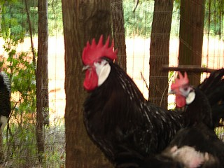 Exotic chickens White Faced Black Spanish