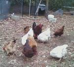 my chickens coming for a piece of bread