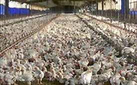 Chickens on a production farm