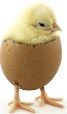 Raising chickens chicken eggs and hatching