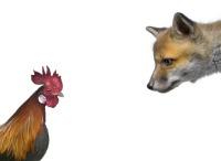 Raising chickens chicken predators