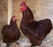 Red Cochin Bantam