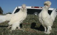 Sultan chickens