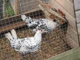 Appenzeller Chickens are an ornamental breed