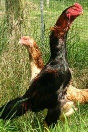 Shamo Chickens are known for being the second tallest breed