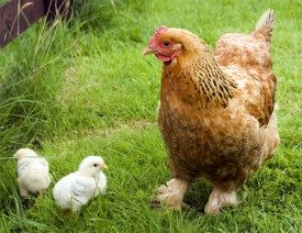 Chicken breeds Cochin Bantam with baby chicks