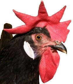 Chicken comb bright red