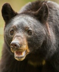 The bear is a chicken predator able to create a lot of damage