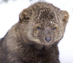 A Fisher cat is a sneaky chicken predator