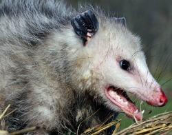 Chicken Predators such as Opossum love eggs.