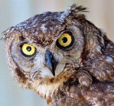 Owls like hawks are chicken predators