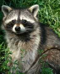 Chicken predators like raccoons are very persistent.