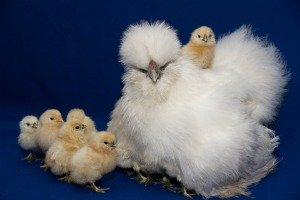 Fancy poultry silky chicken with baby chicks