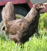 The Iowa Blue chicken breed