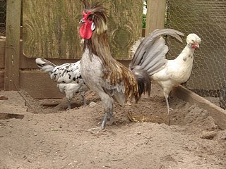 Splash Polish Rooster