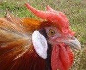 La Fleche Chickens are an ancient breed