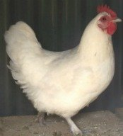 The Langshan is an Asiatic breed of chicken