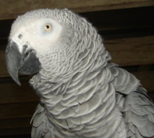 My pet chicken the African Grey