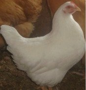 Rhode Island White chicken breed