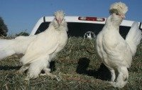 Sultan chickens